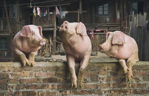 Three pigs having a chat in a remote Chinese village