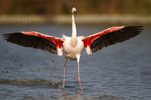 nature wildlife/flamingo wading bird/pink flamingo phoenicopterus ruber landing shallow