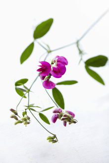 pink sweet pea on white background