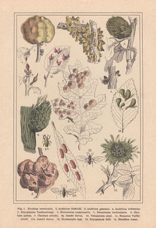 Plant galls (Cecidia), hand-colored lithograph, published in 1890