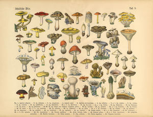 Poisonous Mushrooms, Victorian Botanical Illustration