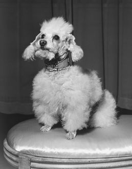 Poodle sitting on stool, (B&W)
