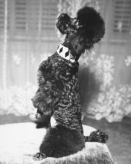Poodle standing erect on stool, begging (B&W)