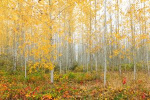 Poplar Tree Grove in Fall Season