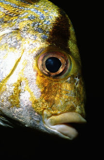 Porkfish (Anisotremus virginicus), close-up