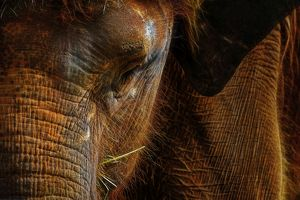 Portrait of an Asian Elephant