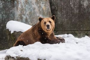 Portrait Of Grizzly Bear Relaxing On Snow Covered Field During Winter