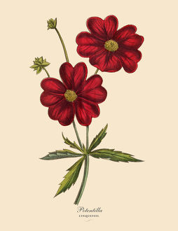 Potentilla or Cinquefoil Plant, Victorian Botanical Illustration