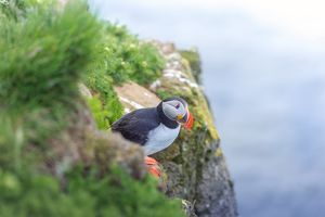 Puffin on a cliff at Latrabjarg, Iceland