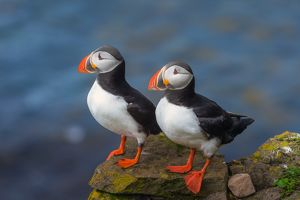 Puffin couple at Latrabjarg, Iceland