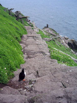Puffin descending south steps