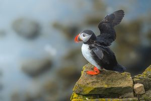 Puffin flapping wings on a cliff