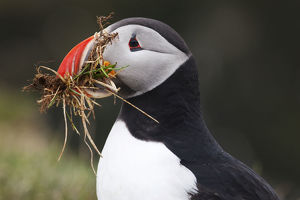 Puffin -Fratercula arctica-, Latrabjarg Peninsula, West Fjords, Iceland, Europe