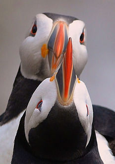 <b>Puffins</b><br>Selection of 147 items