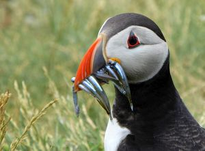 Puffin with sand eels on Staple island