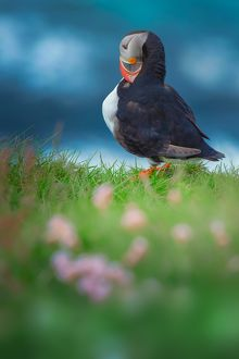 Puffin standing on the cliff