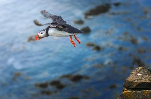 A puffin taking off from the cliff