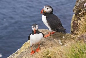 Puffins -Fratercula arctica-, Iceland, Europe