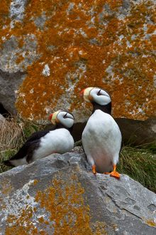 Puffins on a lichen-covered cliff. Horned puffins, Fratercula corniculata, Lake Clark National Park