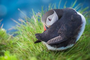 Puffins with shy acting