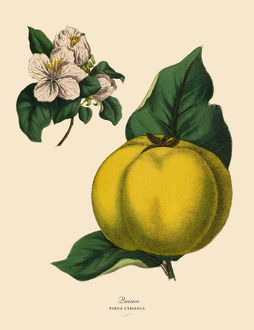Quince Fruit Tree, Victorian Botanical Illustration