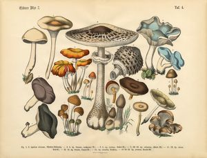 Edible Mushrooms, Victorian Botanical Illustration