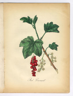 Red Currant Victorian Botanical Illustration