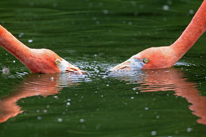 Red Flamingoes or Cuban Flamingoes -Phoenicopterus ruber ruber-, pair with their heads in the water