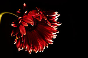 Red gerbera daisy with black background