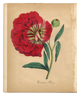 Red Peony Victorian Botanical Illustration