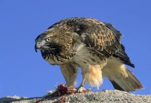 Red tail hawk eating a small bird