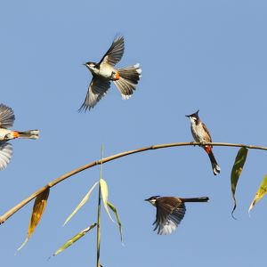 Red Whiskered Bulbuls in flight