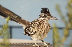 Roadrunner perched on an Air Conditioning Unit