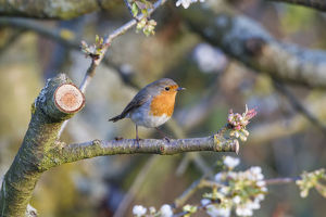 nature wildlife/stephan rech photography/robin erithacus rubecula perched twig fuldabruck