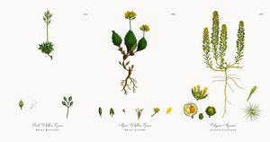 Rock Whitlow Grass, Draba Rupestris, Victorian Botanical Illustration, 1863