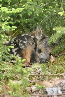 Roe Deer -Capreolus capreolus- fawn, a few days old, lying between young spruce, Allgau