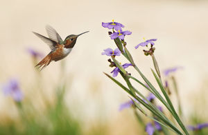 Rufous Hummingbird and Blue-Eyed Grass Flowers