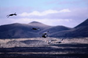 Sandhill cranes (Grus canadensis) in flight, New Mexico, USA