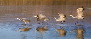 sandhill cranes ready to take off in water