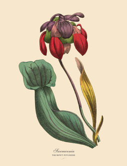 Sarracenia or Trumpet Pitcher Plant, Victorian Botanical Illustration