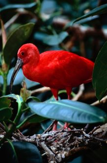 Scarlet ibis (Eudocimus ruber)standing amidst green plants
