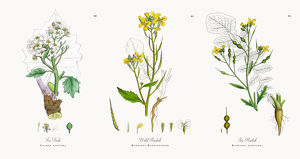 Sea Kale, Crambe maritima, Victorian Botanical Illustration, 1863