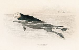 The sea otter engraving 1855