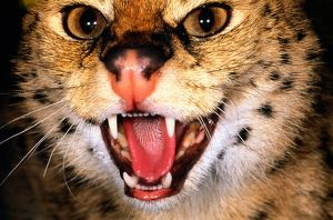 Serval (Felis serval) with mouth open, close-up, Kenya