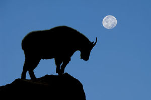Mountain goat with full moon
