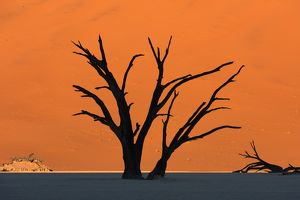 Silhouetted dead Acacia tree with red sand dunes at Dead Vlei, Namibia.