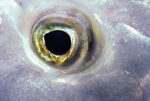 Slingjaw wrasse (Epibulus insidiator), close-up of eye