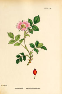 Small-flowered Sweetbriar, Rosa micrantha, Victorian Botanical Illustration, 1863