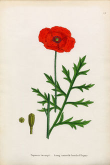 Smooth Headed Poppy, Papaver Lecoqii, Victorian Botanical Illustration, 1863