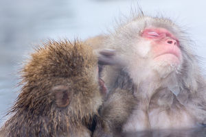 Snow monkey which soaks in the hot spring